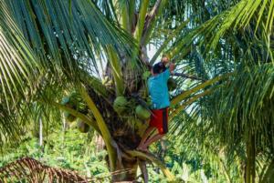 Trhání kokosů