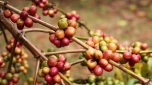 Káva na stromě